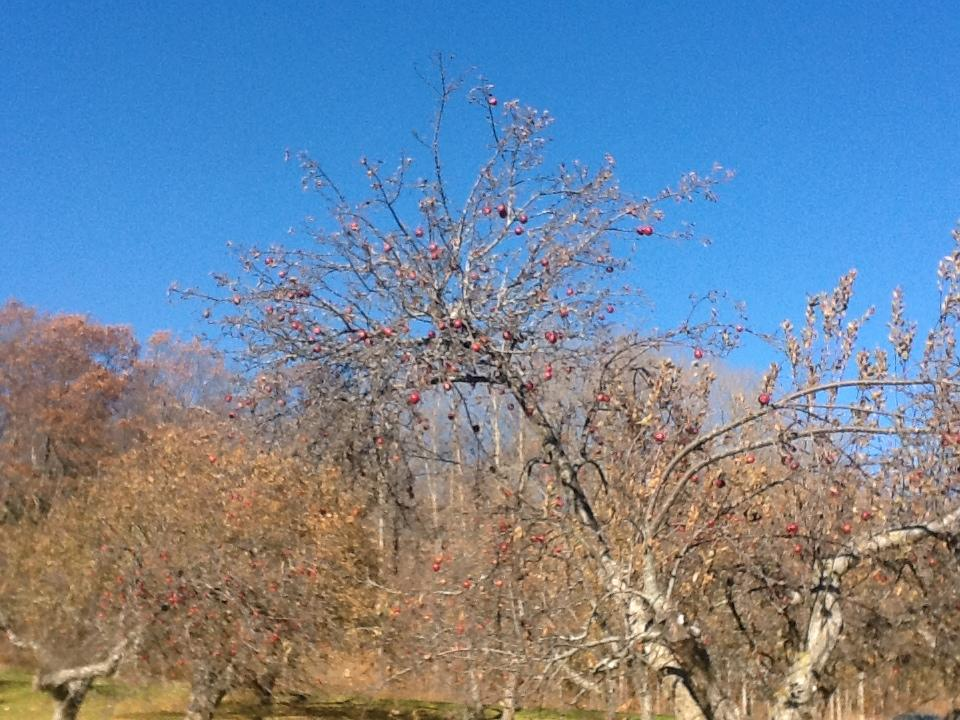 Photo of the apple trees.