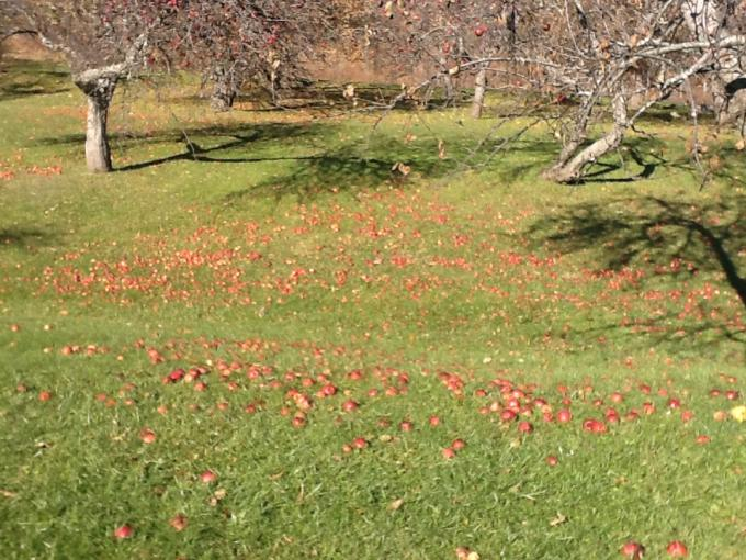 Photo of the fallen apples.